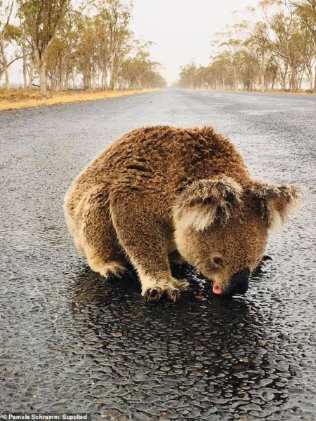 The thirsty koala was spotted on the Moree to Croppa Creek Road in New South Wales on Thursday